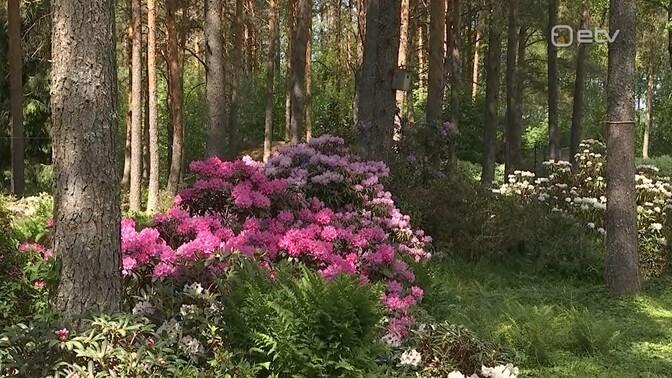 Rododendronid on kasvukoha suhtes nõudlikud