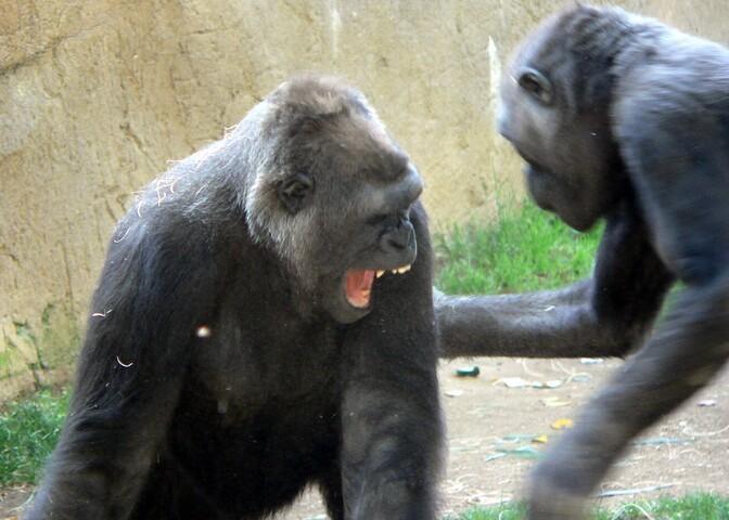 Šimpansid ja gorillad kaklevad mõnikord elu ja surma peale