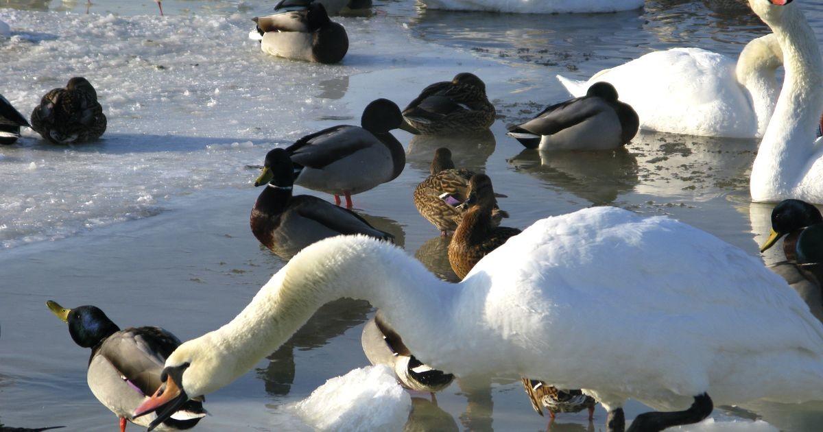 PTA: eriti ohtlik lindude gripp võib levida ka läbi loomsete saaduste