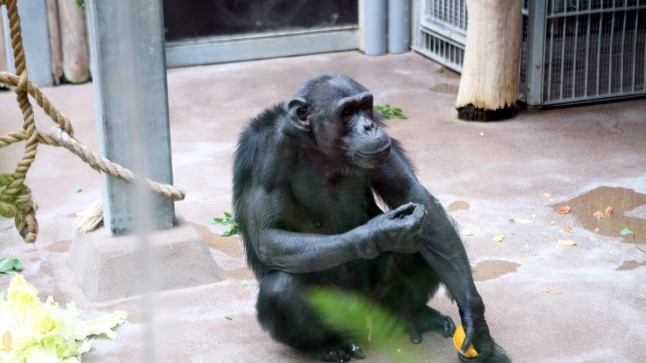 VIDEO | Tallinna loomaaia talitaja unustas harja šimpansi aedikusse ja juhtuma hakkas midagi erakordset