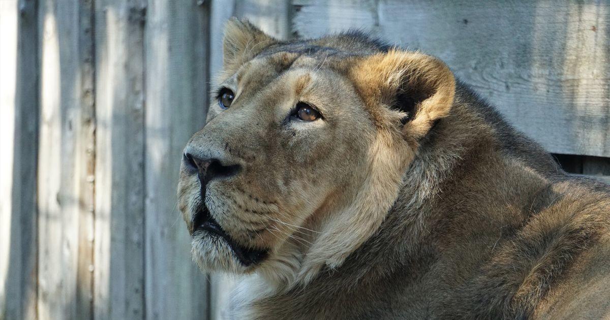 Tallinna loomaaias suri eakas isalõvi