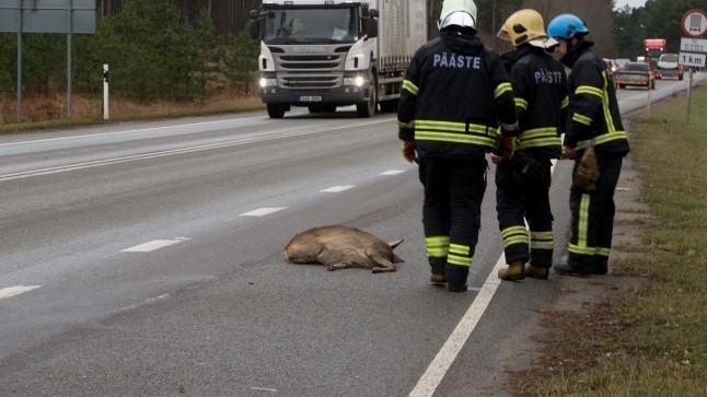 ETTEVAATUST HÄMARAS: tunni ajaga juhtus neli auto ja metskitse kokkupõrget