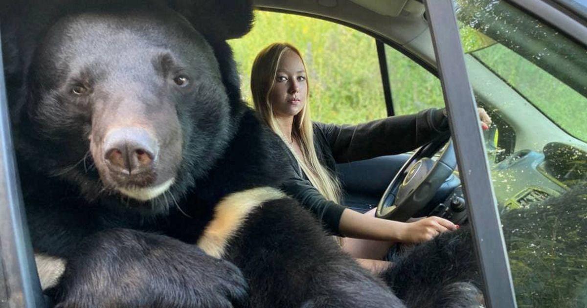 Võimalik vaid Venemaal: karu leidis endale isikliku autojuhi