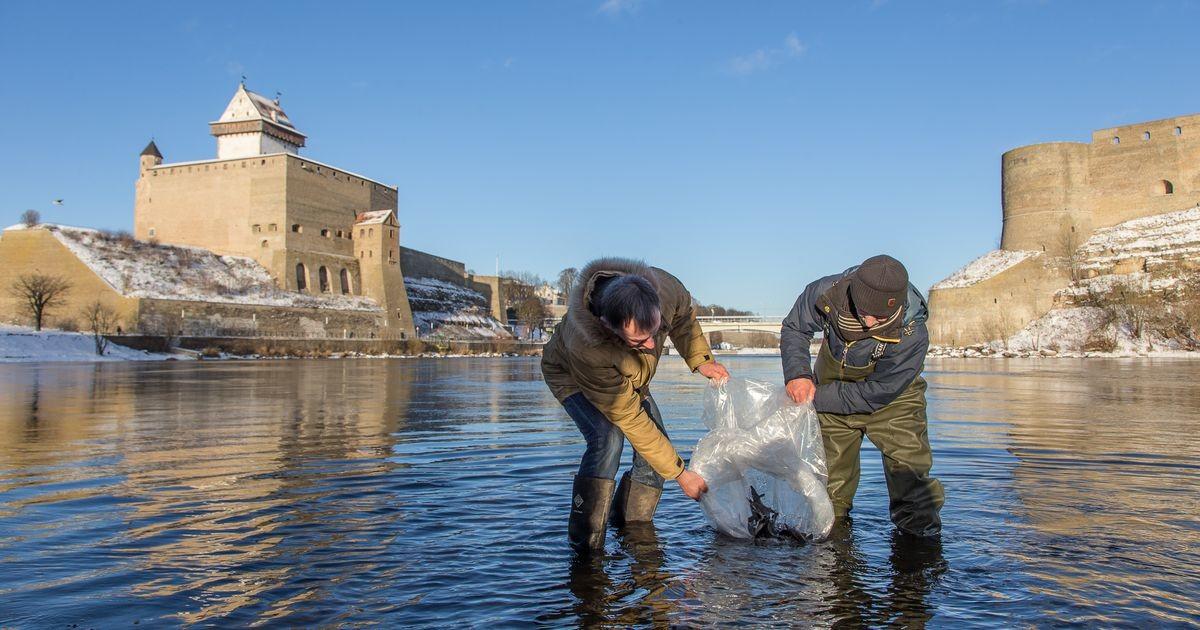 Narva jõkke asustatud tuurad kasvatavad kõvasti kaalu