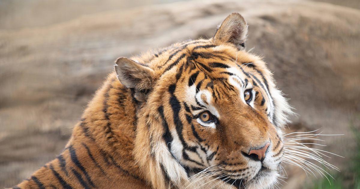 Tiiger aitas paarikesel lapse soo teada saada