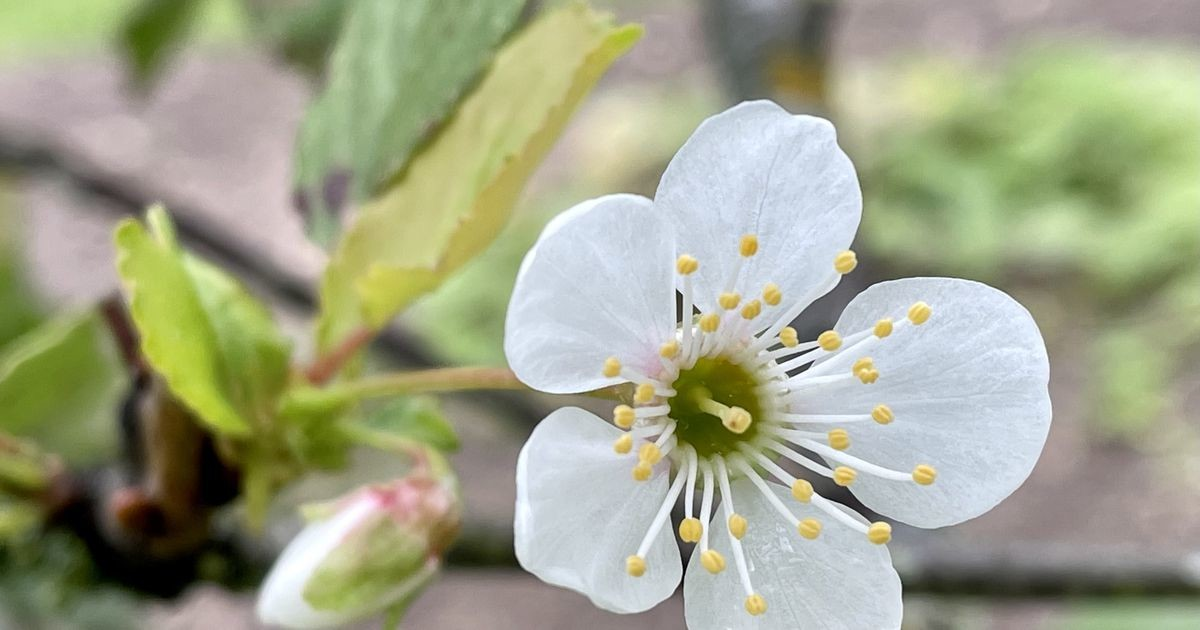 Kirsipuu toob suve lõppu kevadmeeleolu