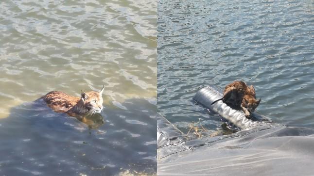 FOTOD | Päästjad aitasid kaldale uppumisohus ilvese