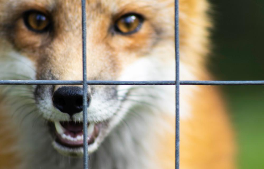 Asi on ametlik: president kuulutas välja karusloomafarmide keelustamise seaduse