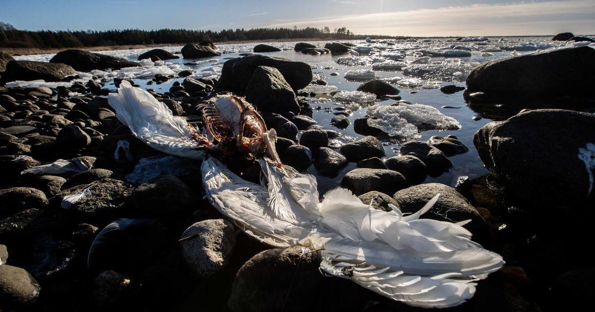 Õõvastav vaatepilt: linnugripp murrab massiliselt luiki