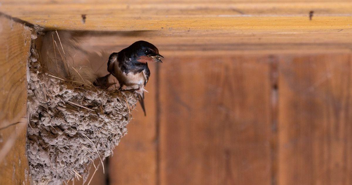 Ka linnaruumis on oluline järgida looduskaitseseadust, mis keelab lindude häirimise ja pesade hävitamise
