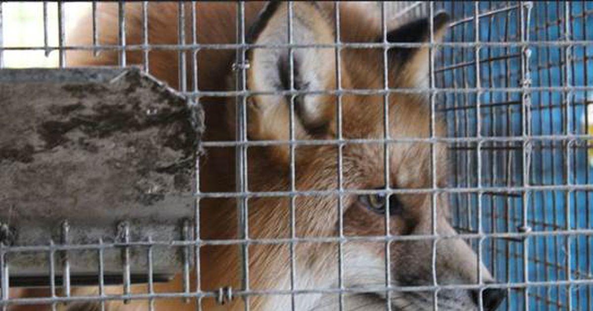 Euroopa Parlament toetas loomatööstuses puuride kasutamise lõpetamist