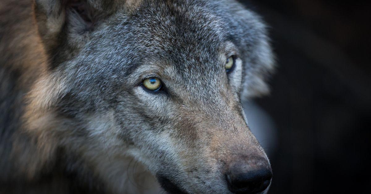 Harjumaal jäid kaamera ette üheskoos jalutanud hunt ja karu