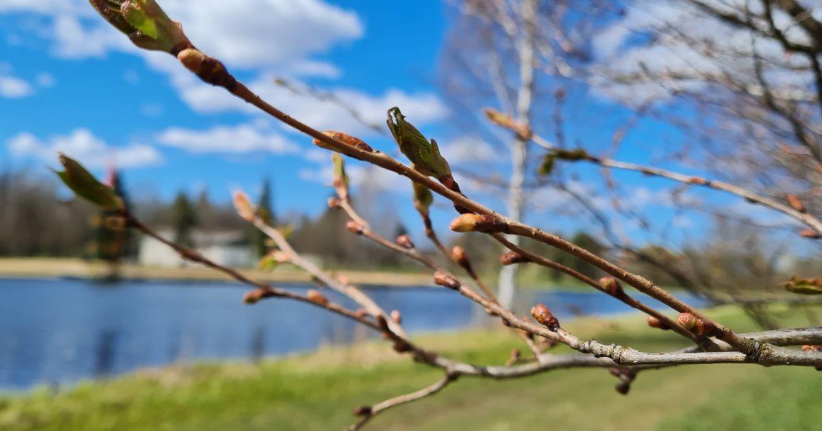 Tujukas kevad lükkab õitepeo algust edasi