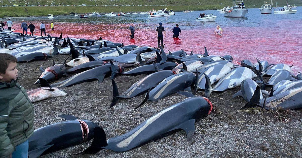 Fääridel tapeti rekordilised 1428 delfiini, kohalike sõnul läheb suurem osa neist prügikasti