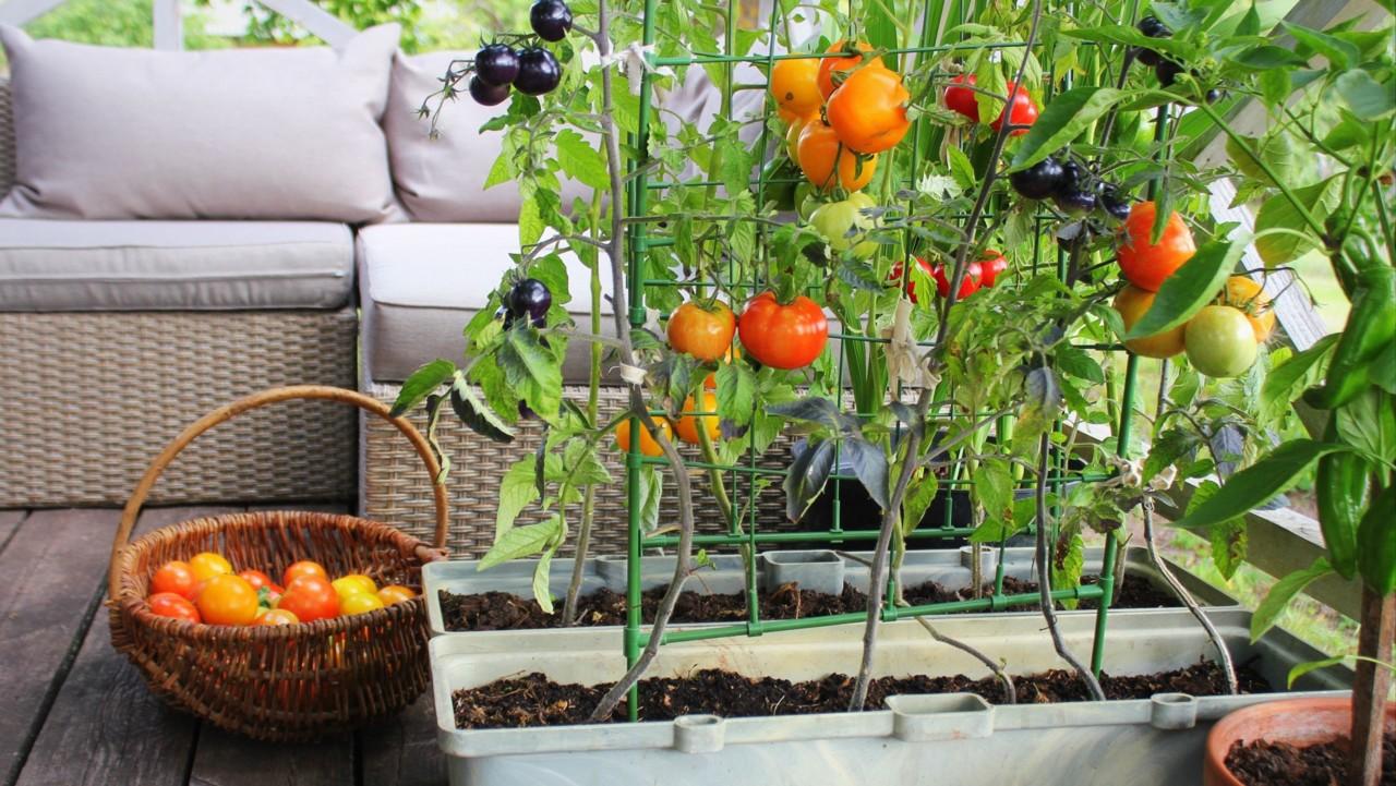 Muuda oma rõdu aiamaaks: selle aasta trendiks on söödavad taimed