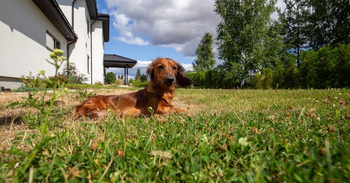 Rünnakuteateid lisandub: Tartu lähedal on üks koer juba kahel korral rotimürki täis vorsti leidnud