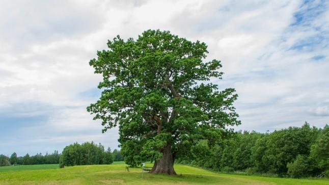 Eesti tammede uurimise varasem lugu: jämedus, vanus ja teisendid